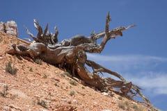 Árbol de la montaña del desierto Fotos de archivo