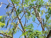 Árbol de la moringa oleifera (palillo) con el colgante de Seedpods que crece en luz del sol brillante Imagenes de archivo