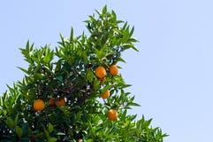 Árbol de la naranja Imagen de archivo libre de regalías