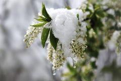 árbol de la Pájaro-cereza en primavera Fotografía de archivo