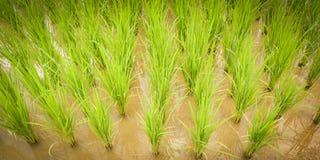 Árbol de la planta de arroz foto de archivo libre de regalías