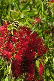 Árbol de la planta de la flor del Bottlebrush con el callistemon de la abeja Fotografía de archivo