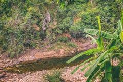 Árbol de la planta de la palma Plátano del acuminata de Musa Fotografía de archivo