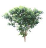 Árbol de la planta de Neem Fotos de archivo libres de regalías