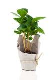 Árbol de la planta del café en el empaquetado de papel Imagenes de archivo