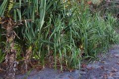Árbol de la planta del pino del pandanus o de tornillo del mar Imagenes de archivo