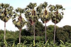 Árbol de la plantación de la palma de azúcar, fila de la caña de azúcar, palma grande del paisaje del árbol en Forest Green imágenes de archivo libres de regalías
