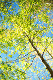 Árbol de la primavera Fotos de archivo libres de regalías