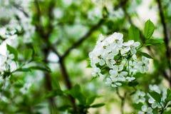 Árbol de la primavera con las flores Primavera Fotografía de archivo libre de regalías