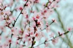 Árbol de la primavera con las flores rosadas Foto de archivo