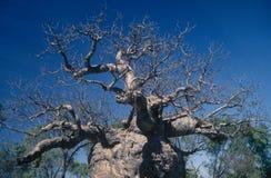 Árbol de la prisión cerca de Derby, Australia occidental Fotos de archivo libres de regalías
