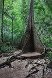 Árbol de la raíz del contrafuerte fotos de archivo