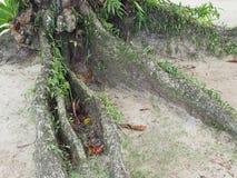 Árbol de la raíz en la playa fotografía de archivo