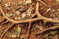 Árbol de la raíz prístino en la naturaleza Foto de archivo libre de regalías