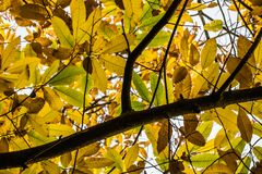 Árbol de la rama de la castaña con las hojas estacionales del otoño amarillo, verde y marrón de la caída Imagenes de archivo