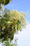 Árbol de la rama con el cielo azul de los brotes blancos imagen de archivo