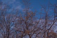 Árbol de la rama de la silueta en el cielo azul Imagenes de archivo