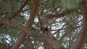 Árbol de la rama del halcón