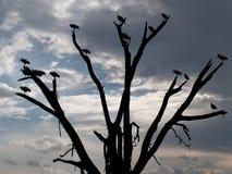 Árbol de la sabana Fotografía de archivo