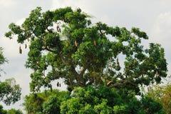 Árbol de la salchicha Imagen de archivo libre de regalías