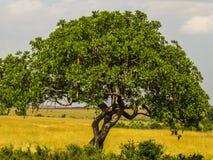 Árbol de la salchicha Fotos de archivo libres de regalías