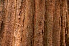Árbol de la secoya Fotos de archivo