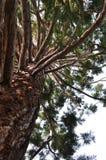 Árbol de la secoya Imagen de archivo