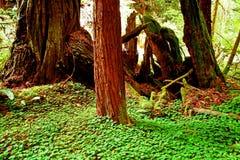 Árbol de la secoya Foto de archivo