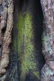 Árbol de la secoya, California; SP grande del lavabo Imagen de archivo