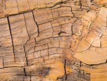 Árbol de la secoya detalladamente fotografía de archivo libre de regalías