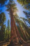 Árbol de la secoya gigante Imagenes de archivo