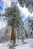 Árbol de la secoya Nevado Imágenes de archivo libres de regalías