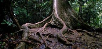 Árbol de la selva Imágenes de archivo libres de regalías