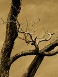 Árbol de la sepia Imágenes de archivo libres de regalías