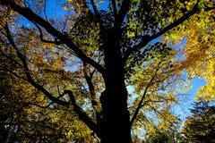 Árbol de la silueta en otoño Fotos de archivo libres de regalías