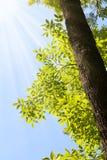 Árbol de la sol y de ceniza Imagen de archivo libre de regalías