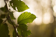 Árbol de la tarde del verano fotos de archivo