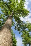 Árbol de la teca Foto de archivo libre de regalías