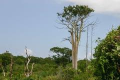 Árbol de la teca Fotos de archivo