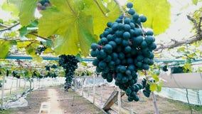 Árbol de la uva Foto de archivo libre de regalías