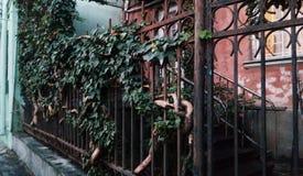 Árbol de la uva en una cerca en el centro histórico de Tbilisi, Georgia foto de archivo
