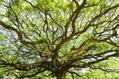 Árbol de la vaina de Monky del gigante Foto de archivo libre de regalías