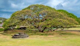 Árbol de la vaina de mono Foto de archivo libre de regalías