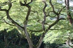 Árbol de la vaina de mono Imagenes de archivo