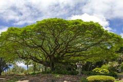 Árbol de la vaina de mono en parque de estado del río de Wailoa en HIio Imágenes de archivo libres de regalías