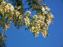 Árbol de langosta negra en la floración Foto de archivo libre de regalías