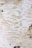 Árbol de las cortezas del detalle - abedul Foto de archivo