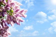 Árbol de las lilas Fotos de archivo libres de regalías