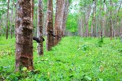 Árbol de las plantaciones de goma con la taza del látex imagen de archivo libre de regalías