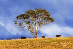 Árbol de las vacas del BM Coxs 3 fotos de archivo